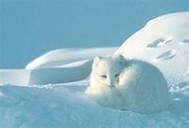 雪狐殿下的坏坏宝贝